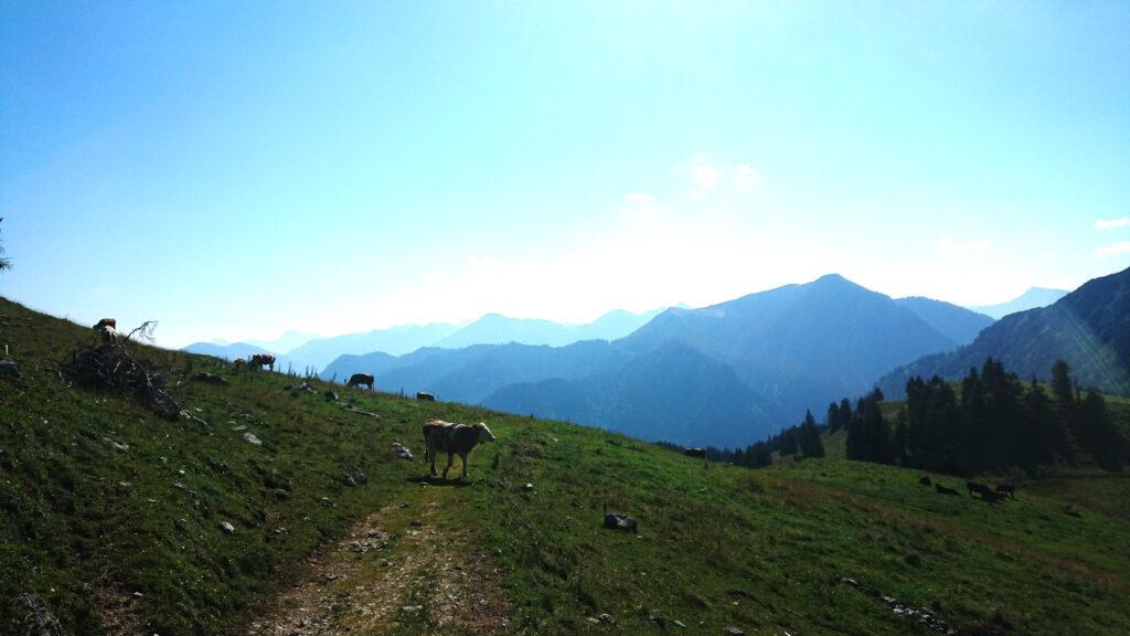 Kühe und Voralpen-Panorama
